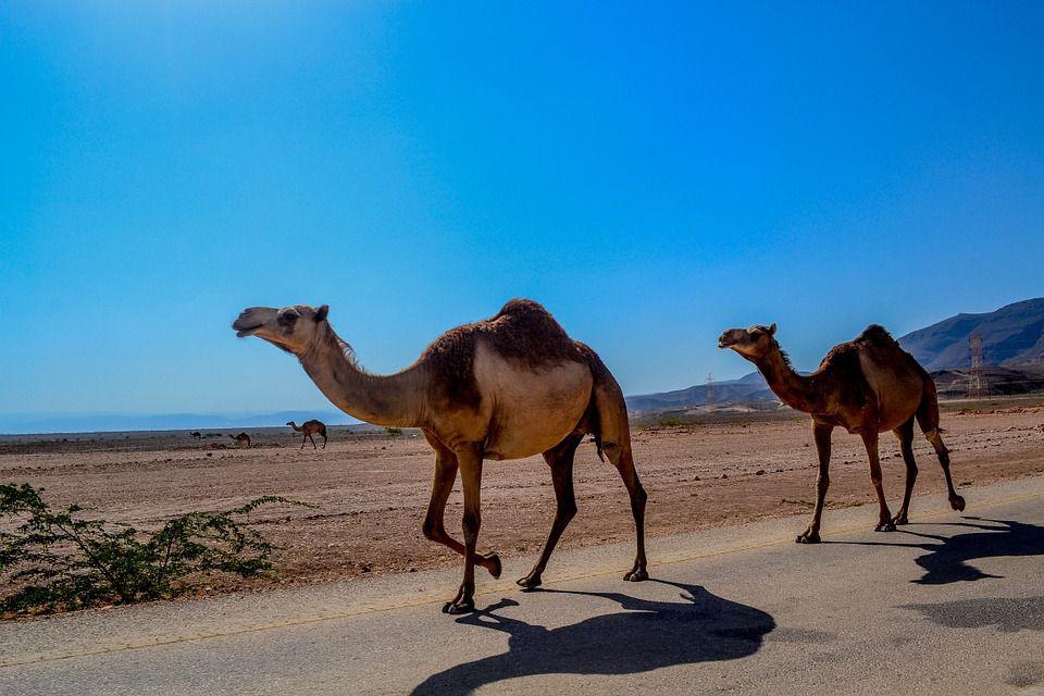 camel-468096_960_720