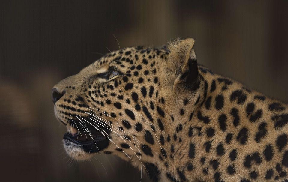 leopard-2794959_960_720